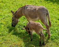 Donkey with foal Royalty Free Stock Photo