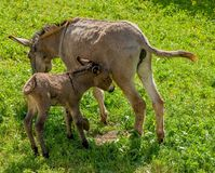 Donkey with foal Royalty Free Stock Image