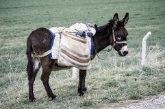 Ass, pictures of donkeys, shepherd`s asses, beautiful cargo carrying a load, sable donkey, black donkey, amiable ass, beautiful do Stock Image