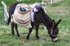 Ass, pictures of donkeys, shepherd`s asses, beautiful cargo carrying a load, sable donkey, black donkey, amiable ass, beautiful do Royalty Free Stock Images