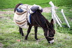 Ass, pictures of donkeys, shepherd`s asses, beautiful cargo carrying a load, sable donkey, black donkey, amiable ass, beautiful do Royalty Free Stock Photos