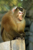 Assam Macaque stock photo