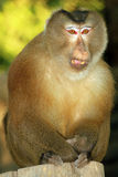 Assam Macaque Stock Image