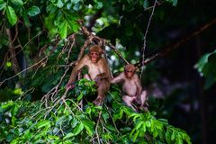 Assam macaque,Monkey sitting on a tree,monkey wit friends,Nature wildlife,Humans evolved from monkeys. Animal, asia, assamensis, assamese, baby, background stock photography