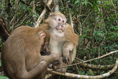 Assam macaque Royalty Free Stock Photos