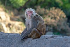 Assam macaque striking a pause. Taken on a bridge over the Bagmati river leading to Deer park on a sunny spring end of afternoon near Pashupatinath Temple stock images