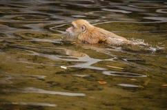 Assam-Makaken schwimmt im Fluss Lizenzfreie Stockfotos