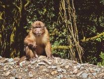 Assamese-Makaken (Macaca assamensis), Bhutan Lizenzfreie Stockfotografie