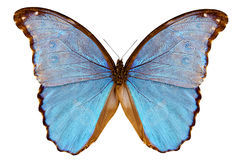 Assarpai di godarti di Morpho di specie della farfalla immagine stock