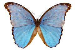Assarpai godarti Morpho вида бабочки Стоковое Изображение