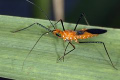 Assasin Bug. Picture taken in the everglades stock photography
