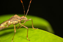 Assasin bug Stock Photos