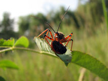 Assasin Bug nymph Royalty Free Stock Image