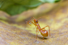 Assassin bug Stock Photography