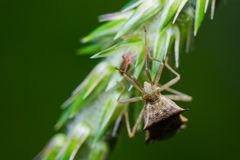 Assassin bug Royalty Free Stock Images