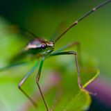 Assassin bug. Macrophotography of an assassin bug on a leaf at its own environment Stock Image