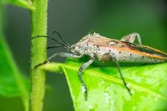 Free Assassin Bug Stock Photography - 51430922