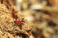Assassin bug attack termite. Young assassin bug attack a termite for food Royalty Free Stock Image