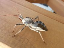 Assassin Bug photos stock