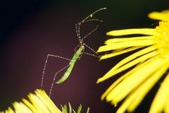 Assassin bug Royalty Free Stock Photo
