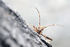 Assassin bug Royalty Free Stock Image