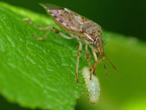 Assassin Bug Eating A Grub. Closeup of an Assassin Bug eating a grub on a green leaf stock photos
