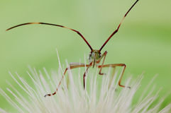 Assassin bug. An assassin bug on a flower Royalty Free Stock Images