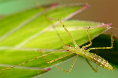 Assassin bug on green grass Royalty Free Stock Images
