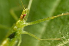 Assassin bug on a green leaf Royalty Free Stock Photography