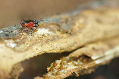 Assassin bug hunt termite. A assassin bug is hunting a termite from a group Royalty Free Stock Photography