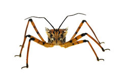 Assassin bug isolated on white Royalty Free Stock Photography