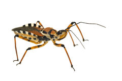 Assassin bug isolated on white Royalty Free Stock Photos
