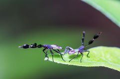 Assassin bug larvae Stock Images