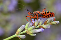Assassin bug on lavender. Macro of black and red assassin bug (Rhinocoris iracundus) on lavender flower royalty free stock photos