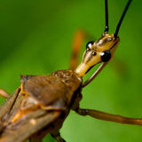 Assassin bug macro. Macrophoto of an assassin bug showing its head in detail Stock Image