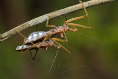 Assassin bug mating Stock Photo