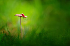 Assassin bug on a mushroom. This assassin bug want to jump from the mushroom Royalty Free Stock Photos