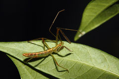 Assassin Bug Nymph Royalty Free Stock Images