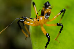 Assassin bug nymph Stock Photos