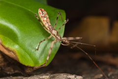Assassin Bug nymph Stock Photography