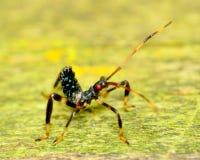 Assassin Bug Nymph Stock Photo