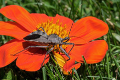 Assassin Bug Royalty Free Stock Photography