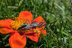 Assassin Bug Stock Image