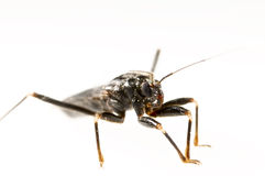 Assassin bug  in white Royalty Free Stock Image