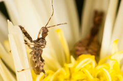 Assassin bug on a white flower Stock Photography