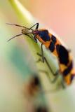 Assassin bugs mating Stock Photo