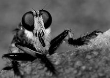 Assassin Fly Stock Photo