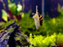Assassin snail in tropical nano tank sliding up the glass stock image