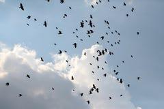 Assassinato dos corvos fotografia de stock royalty free