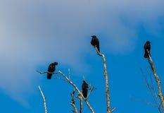 Assassinato dos corvos que recolhem em ramos de árvore inoperantes imagens de stock royalty free